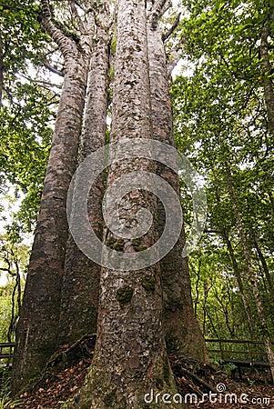 Four Sisters - Large Kauri Trees