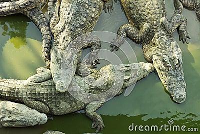 Four sleeping crocodiles