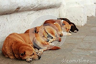 Four sleeping dogs in Kathmandu