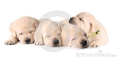 Four sleeping puppies