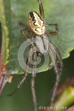 Four-spot orb-weaver (Araneus quadratus)