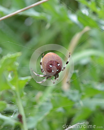 Free Four-spot Orb-weaver Or Araneus Quadratus Royalty Free Stock Photo - 99007355