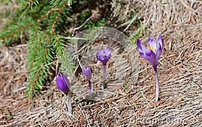 Four Spring Crocuses