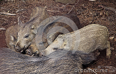 Four wild boars sucking milk