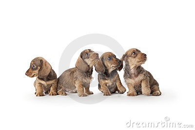 Four wire-haired dachshund puppies