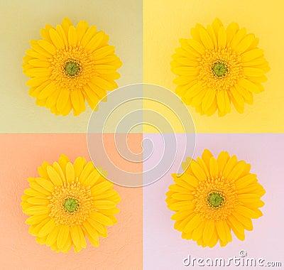 Four yellow daisies on pastel squares