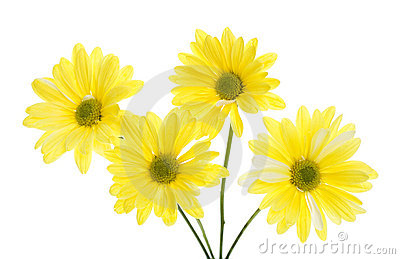 Four Yellow Shasta Daisy Flowers Isolated on White
