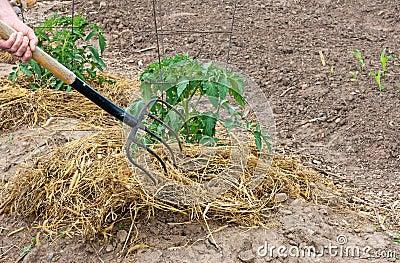 Fourchette et paille de jardin photos libres de droits image 25362438 - Acheter de la paille pour jardin ...