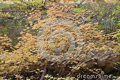 Fourchette occidentale dans l automne