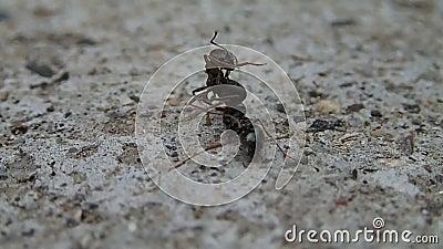 Fourmi tuant une demi fourmi banque de vidéos