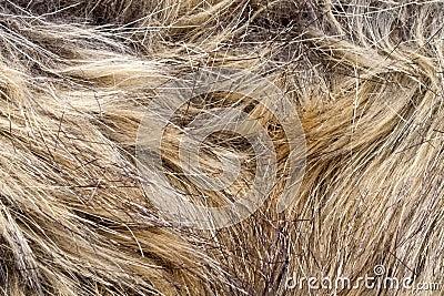 Fourrure de lynx
