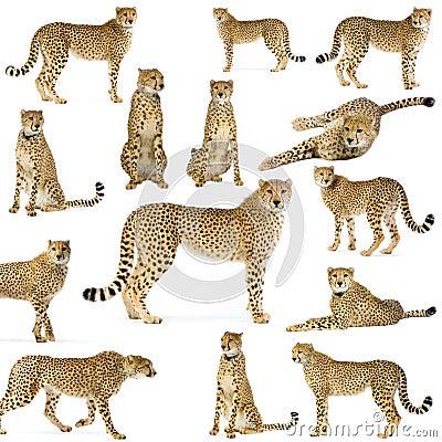 Fourteen Cheetahs
