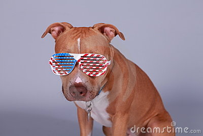 Fouth of July Pit Bull