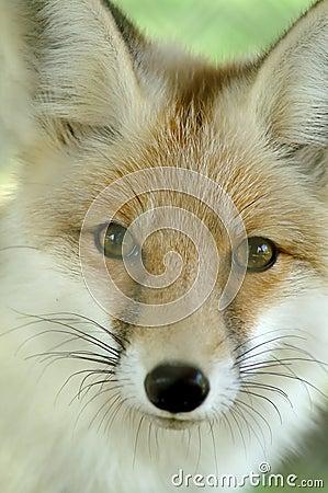 Free Fox Stock Photography - 13013392