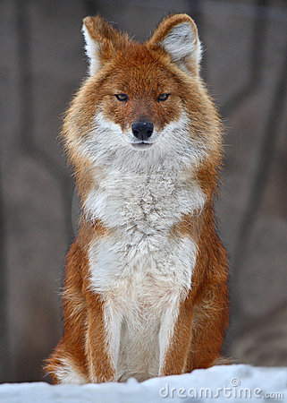 Fox Royalty Free Stock Photography - Image: 4784947