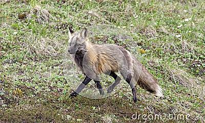 Fox cinzento selvagem