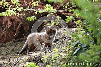 Fox cub.