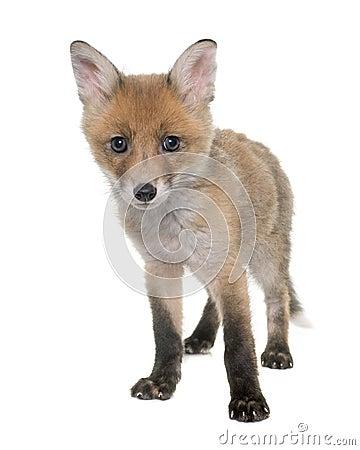 Free Fox Cub In Studio Royalty Free Stock Photography - 70803157