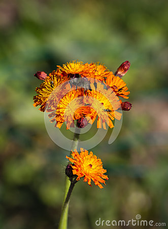 Fox and Cubs Wild Flower
