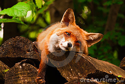 Fox de relajación