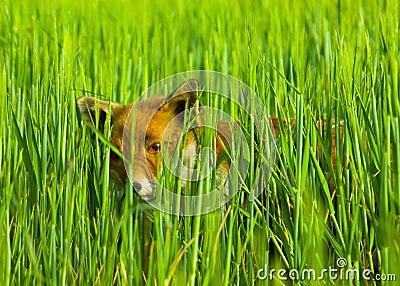Fox hiding