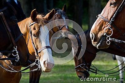 Fox Hunt Horses