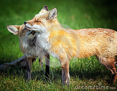 Fox-Mamma mit Welpen