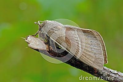 Fox moth