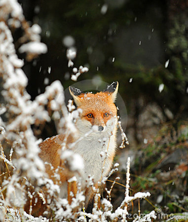 Fox na neve do inverno