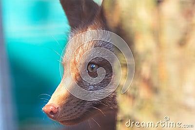 Fox Peek 3
