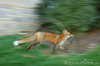 Fox with the prey
