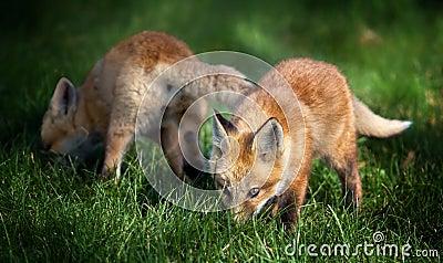 Fox Pups in Field