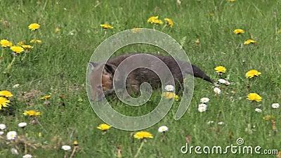 Fiori Gialli Normandia.Fox Rosso Vulpes Di Vulpes Cucciolo Che Cammina Nel Prato Con I