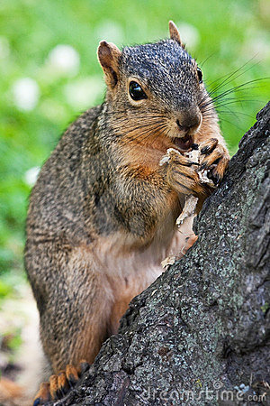 Fox Squirrel Eating A Peanut