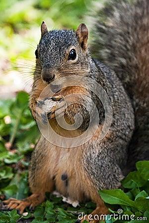 Fox Squirrel Eating A Peanut