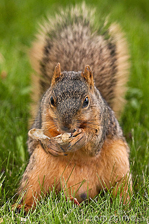 Fox Squirrel Eating A Shelled Peanut