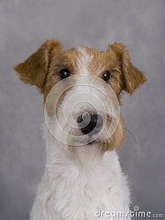 Free Fox Terrier Stock Image - 13806381