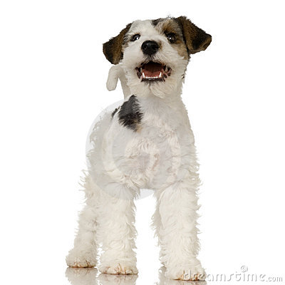 Free Fox Terrier Stock Images - 2765194
