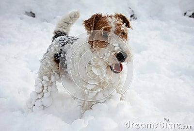 Fox-terrier pup in snow