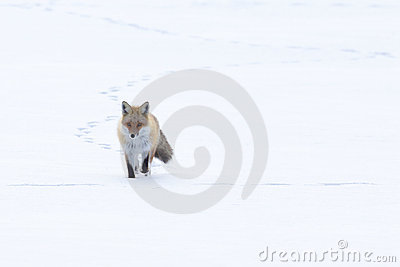 Fox Walking Across the Snow