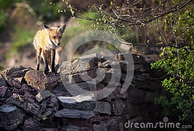 Fox on Wall