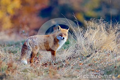 Fox in the wildlife