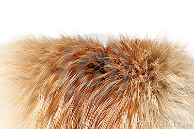 Fox winter fur close-up #2 | Isolated