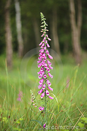 Foxglove Stock Photos - Image: 22616913
