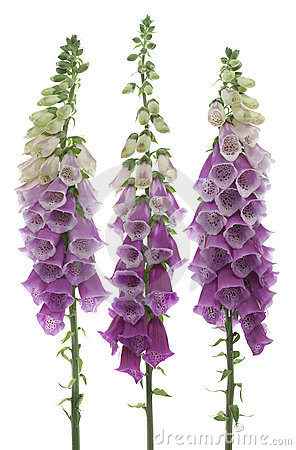 Free Foxglove Royalty Free Stock Image - 23232896
