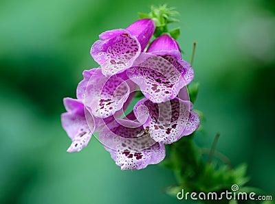 Foxglove blossom
