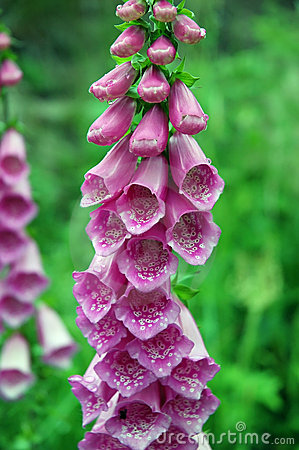 Free Foxglove (digitalis Purpurea) Royalty Free Stock Photography - 1097987