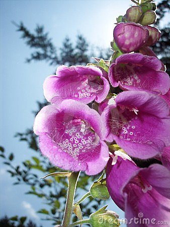 Free Foxglove (digitalis Purpurea) Stock Image - 1376641