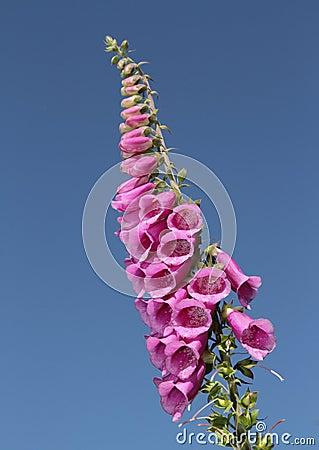 Free Foxglove, Digitalis Purpurea. Royalty Free Stock Image - 15672056