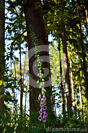 Free Foxglove (digitalis Purpurea) Royalty Free Stock Images - 42735709
